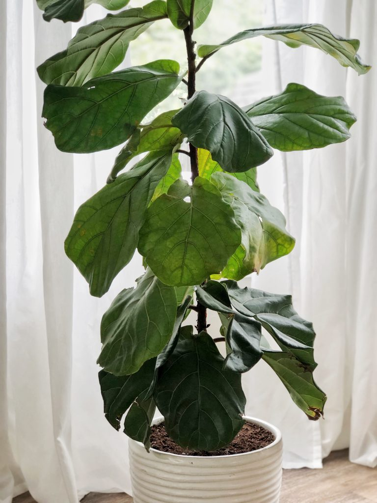 repot your Fiddle Leaf into a new planter Fiddle Tree
