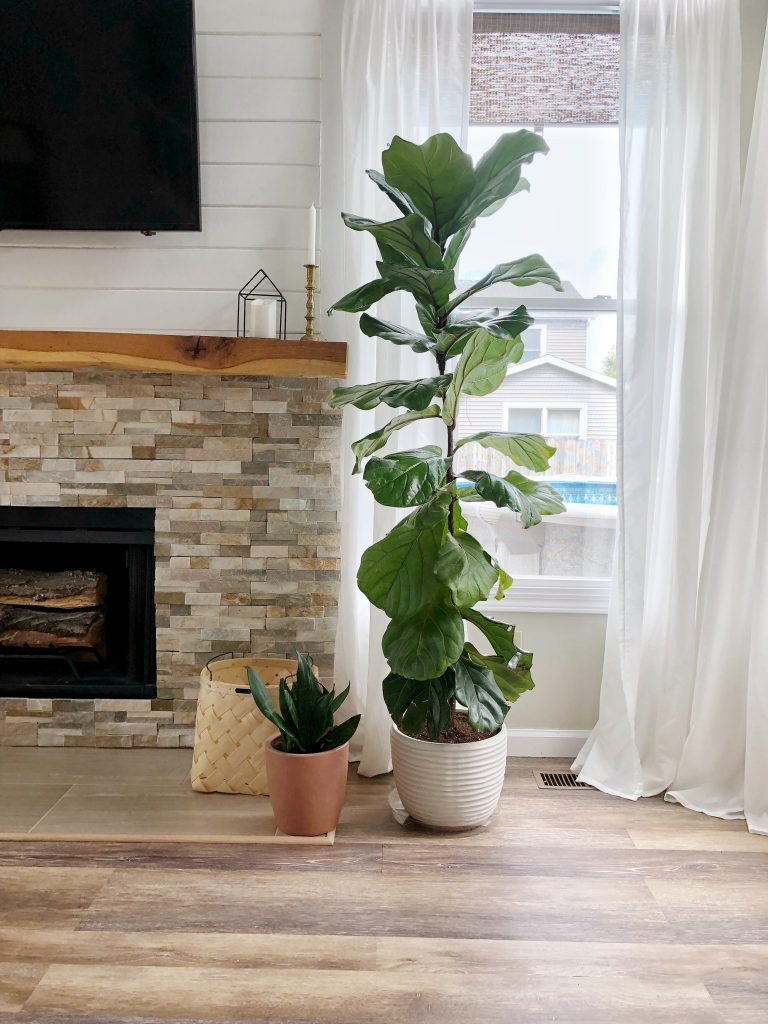 Repot your fiddle leaf fig in a new planter.